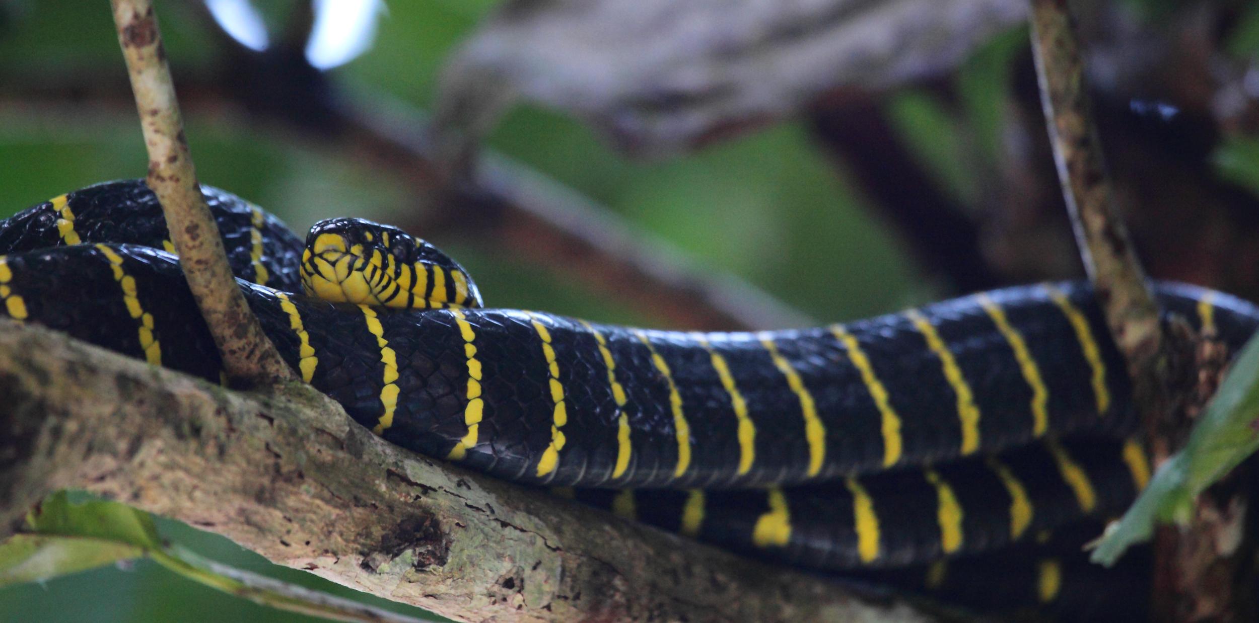 Mangrove Cat Snake  Boiga dendrophila .
