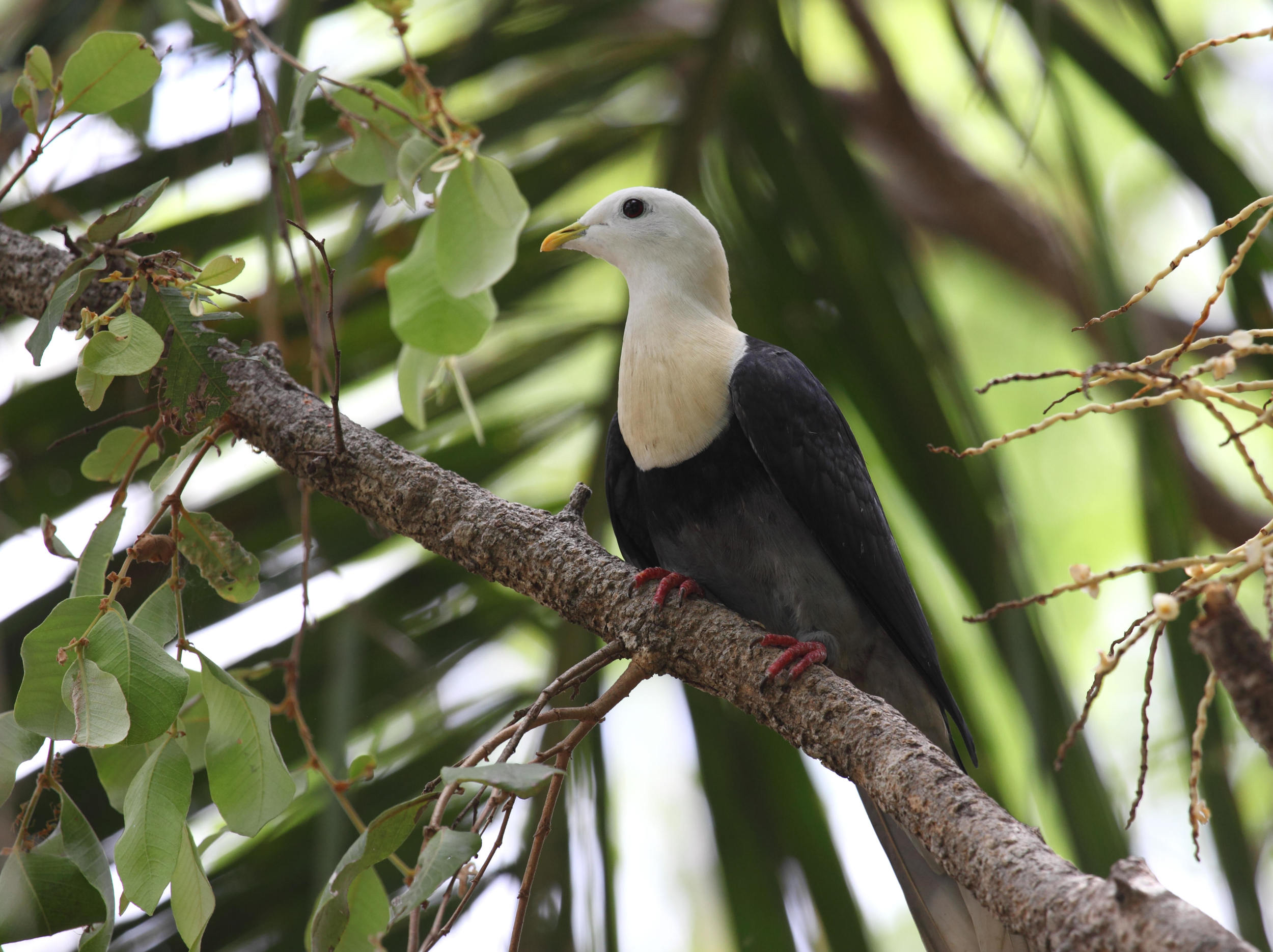 A regional endemic - Black-banded Fruit Dove