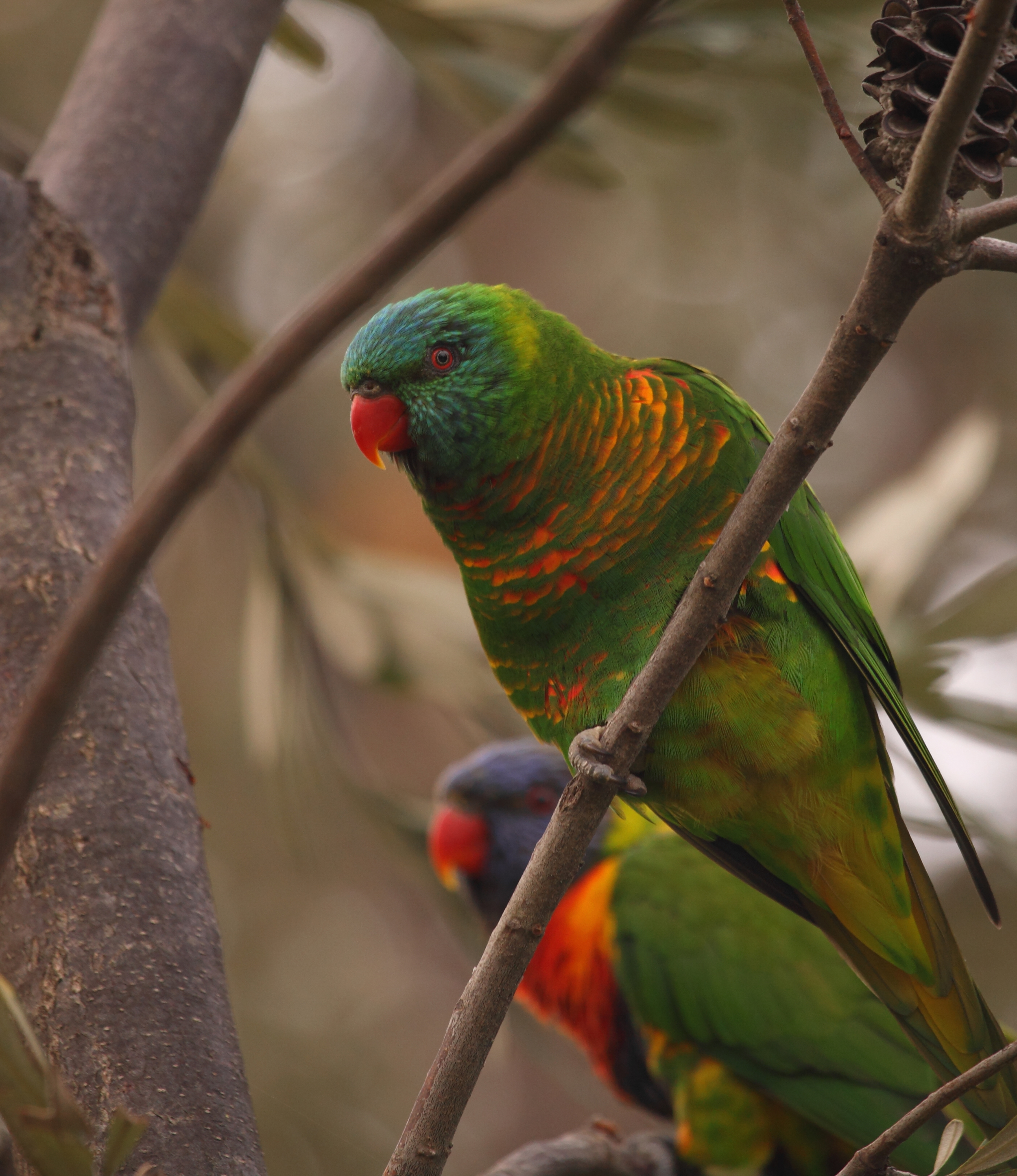 A hybrid Scaly-breasted Lorikeet with its mate, a Rainbow Lorikeet in the background.