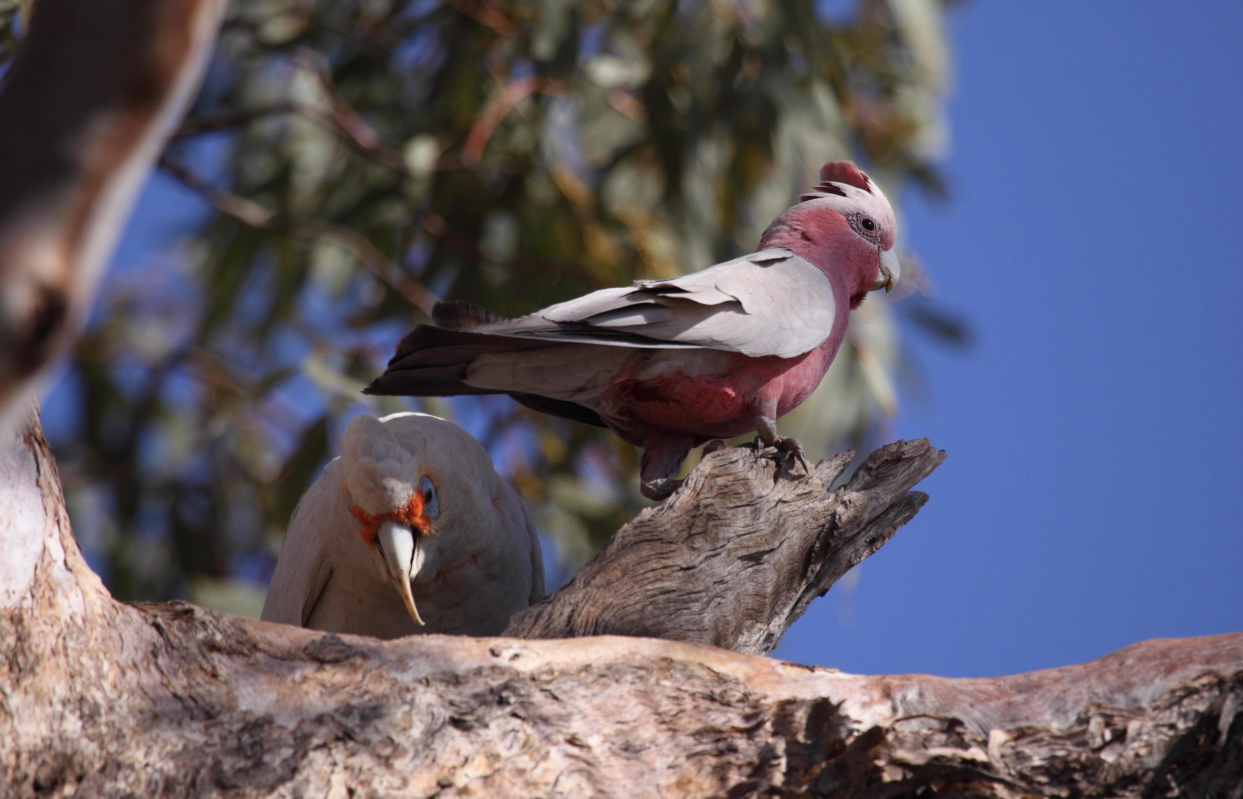Flashback to Alice Springs: a Long-billed Corella and a Galah as unconventional homemakers.