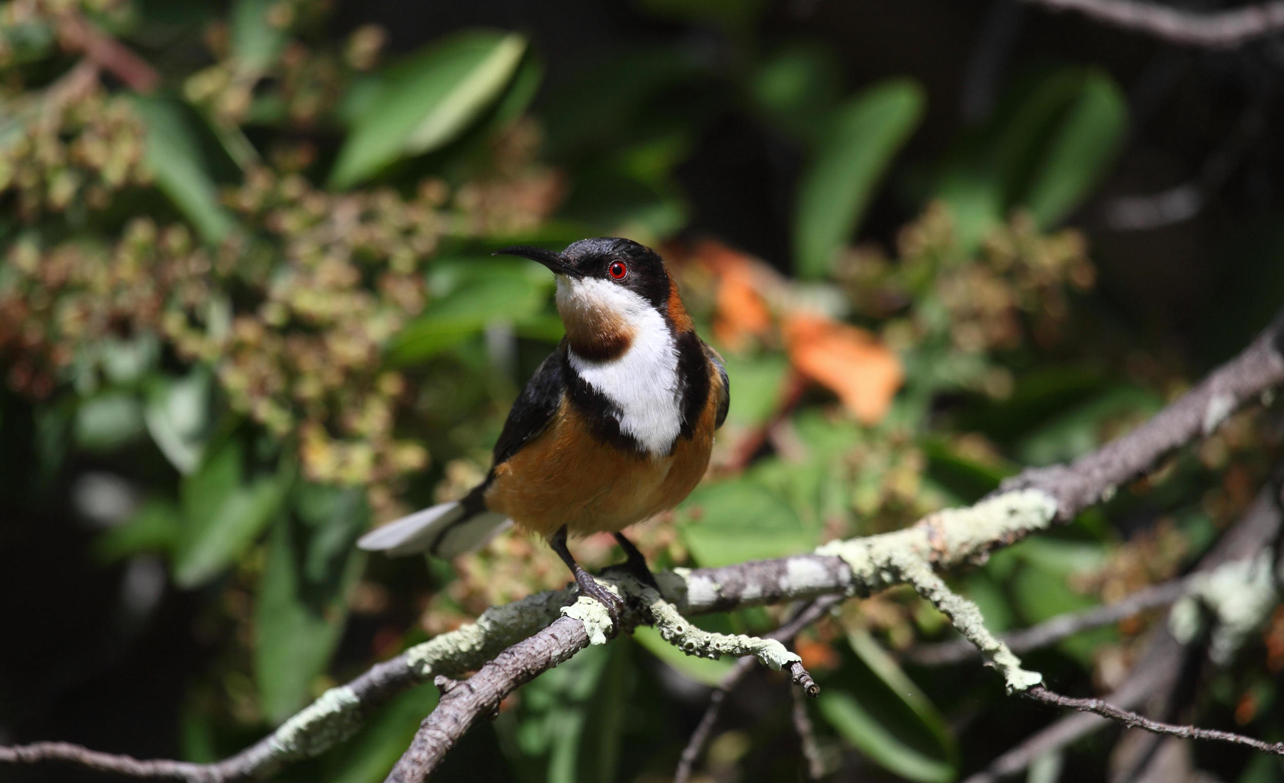 Eastern Spinebill - less colourful in real life but still an arresting bird