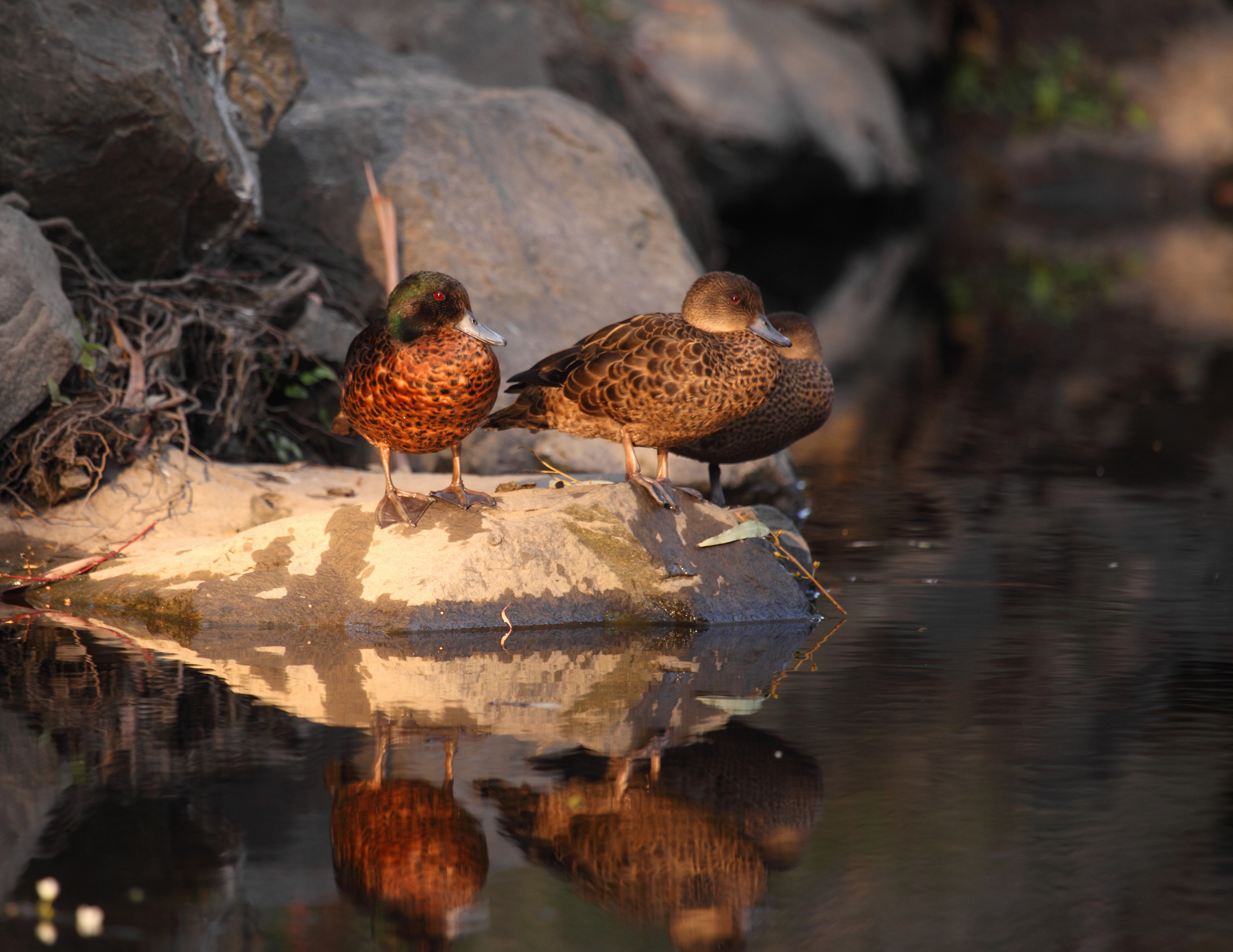Chestnut Teals on Koonung Creek: the only duckbills I've seen here so far but I'm still looking...