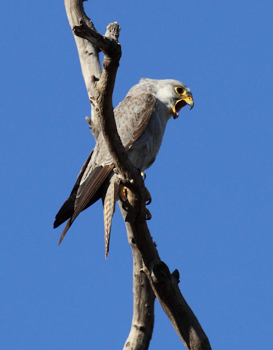 A Grey Falcon  Falco hypoleucos , straining to eject a pellet. I collected this pellet too and it was composed almost entirely of Budgerigar bones and feathers.