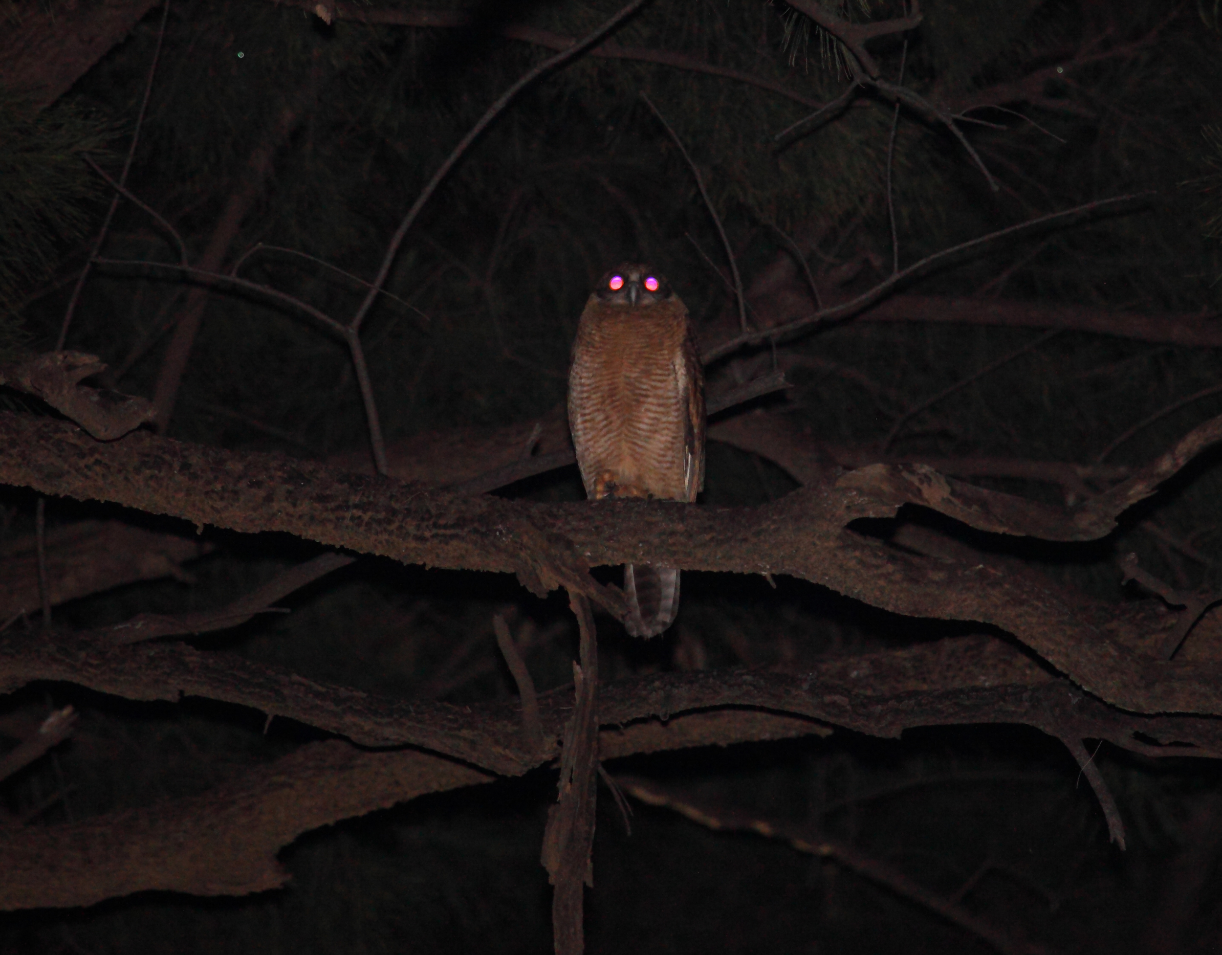 Another nocturnal raptor of wooded Top End areas: a Rufous Owl on the upper Daly River.