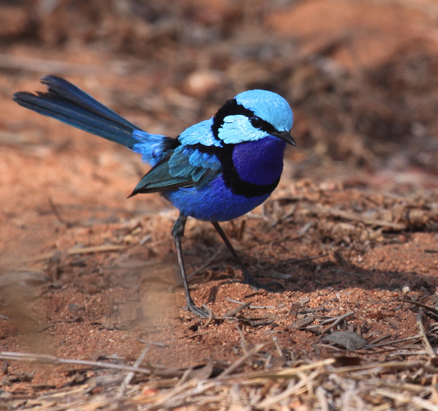 Splendid Fairy-wren  Malurus splendens  - even to the untrained eye; pretty difficult to mistake for a grasswren.