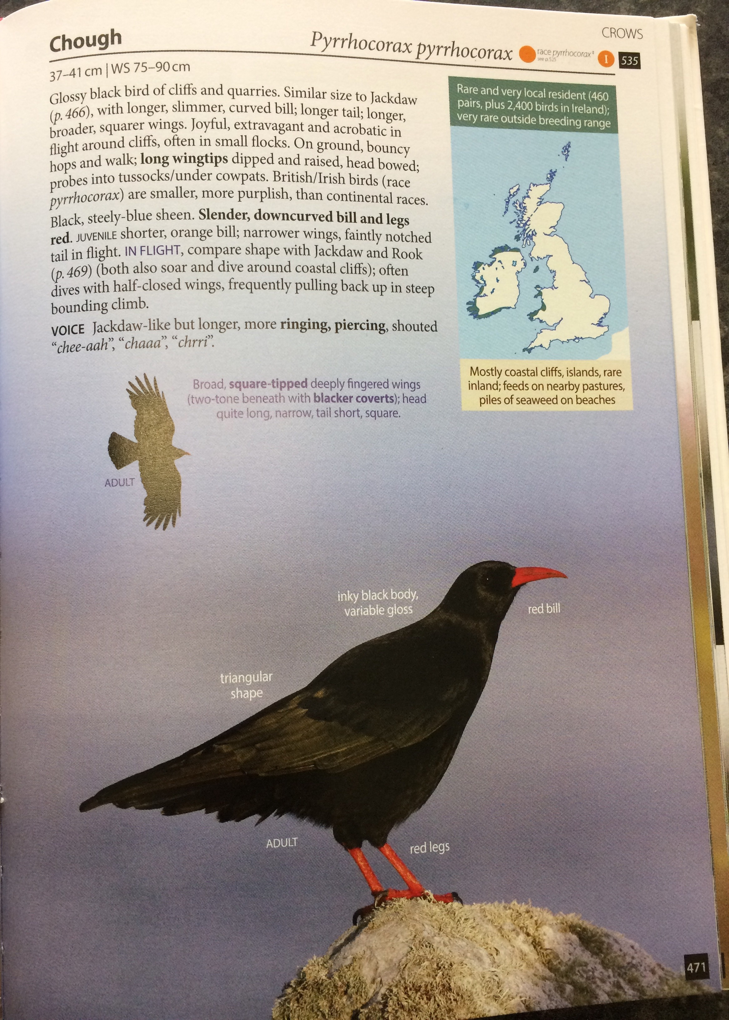 The species account for (Red-billed) Chough. The text is concise but more than sufficient. This is one of the more straightforward species to identify.