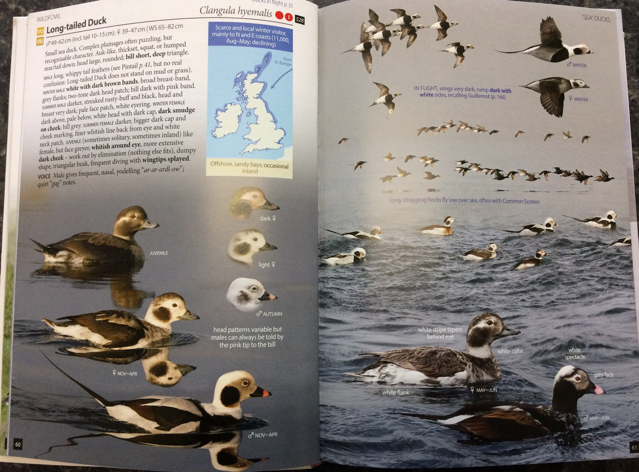 For potentially problematic species you get the Full Monty: a double page spread here for the bogey bird of my trip, Long-tailed Duck. Flight shots, head shots, different moults, behavioural notes, other species it is likely to associate with... all in beautifully comparable, well-lit, photos.