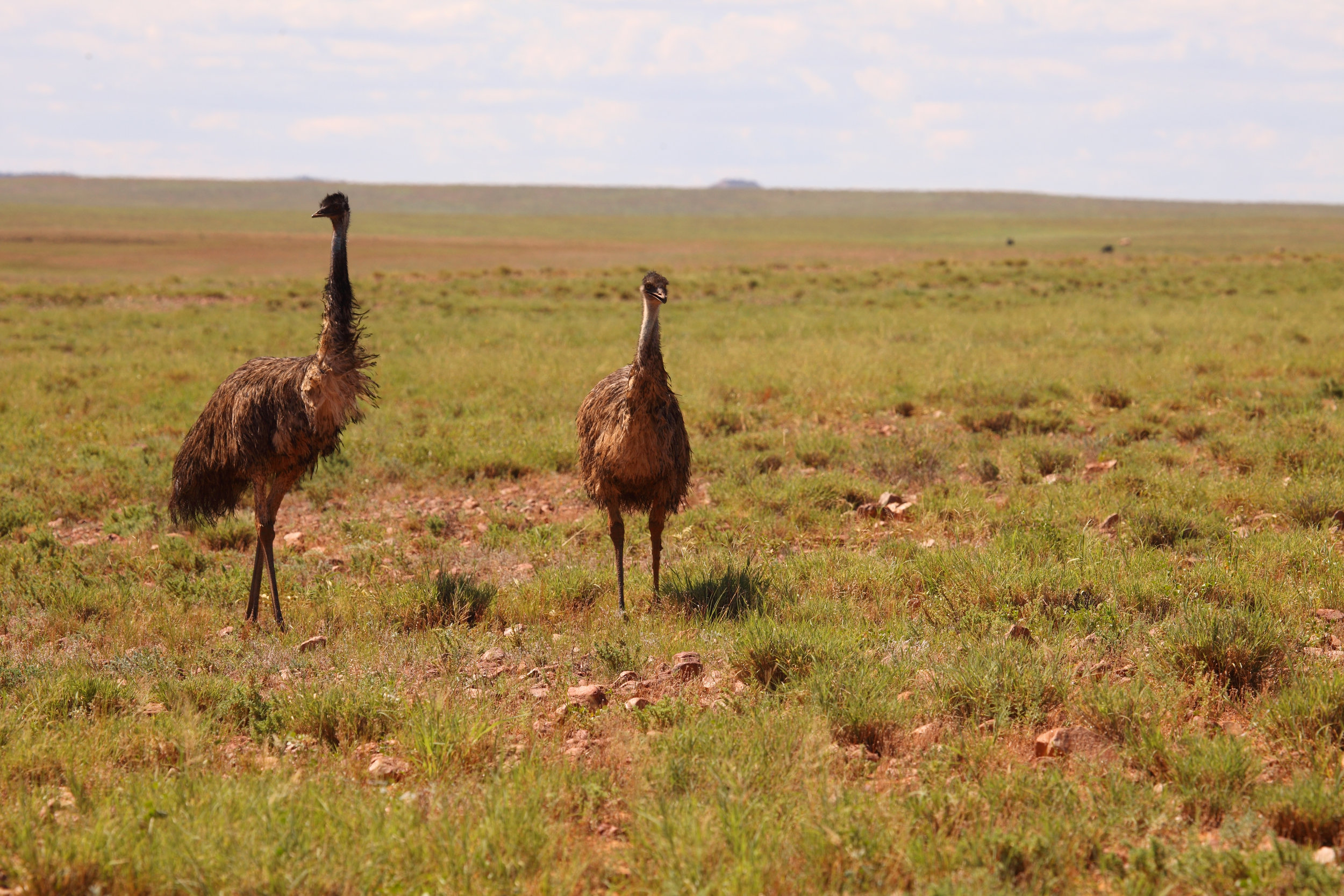 Emus on the 16th fairway near Tibooburra.