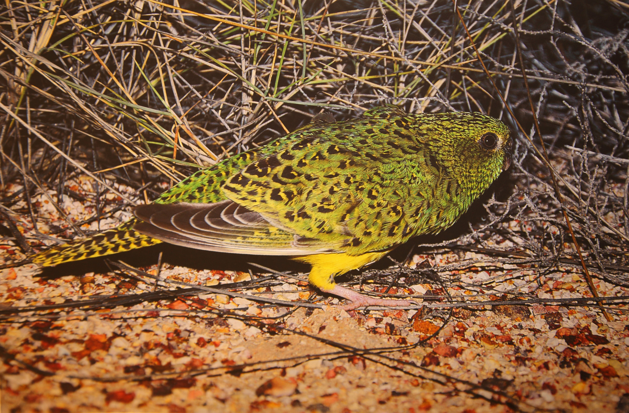 One of John Young's original Night Parrot pics from western QLD in 2013. Used with kind permission.