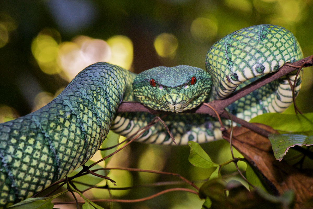 ....and it's not all about the birds. Bornean Keeled Pit Viper. Bjorn Olesen. Used with kind permission.