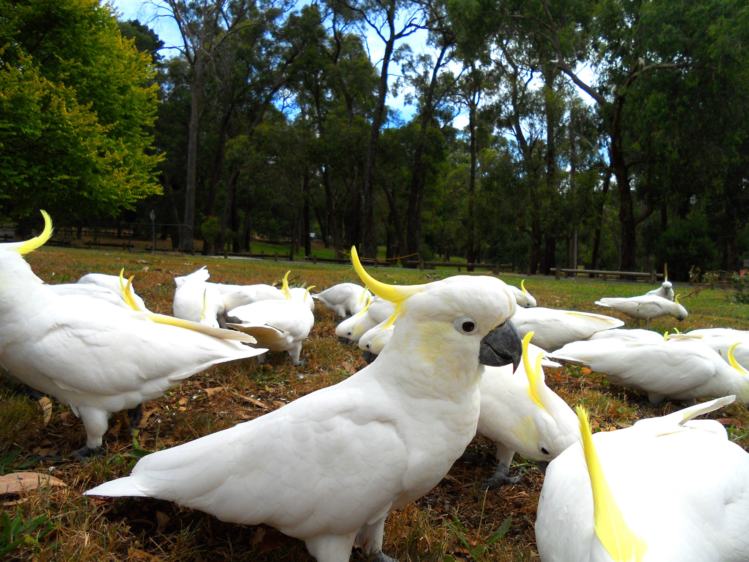 Copy of Cockatoos