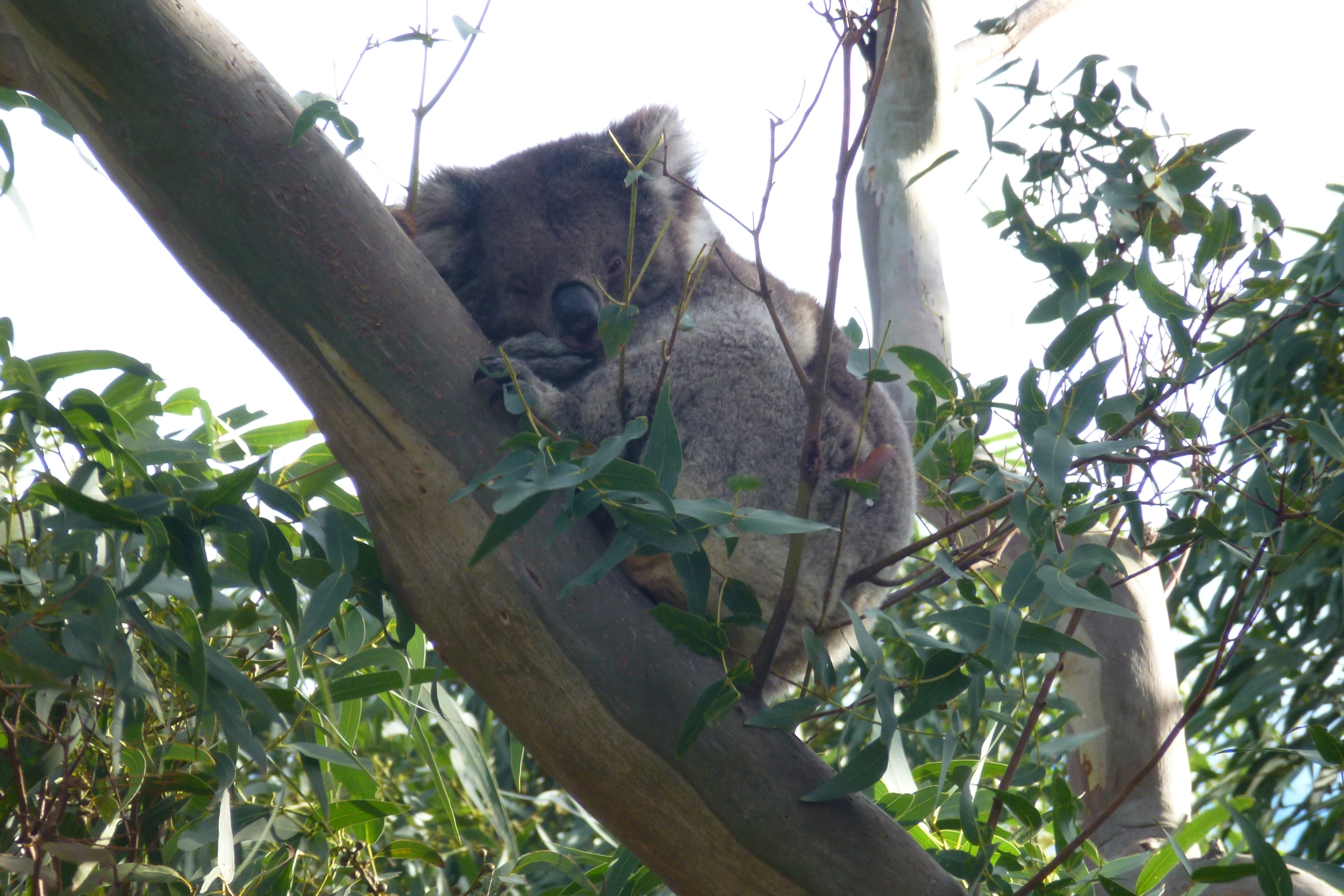 Copy of Koalas