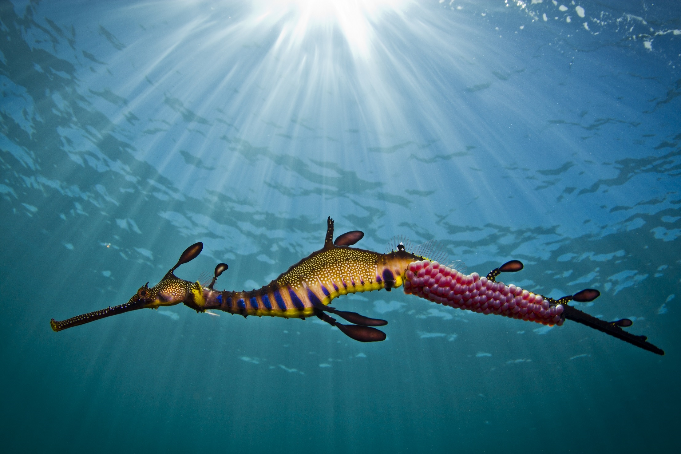 Sea Dragon seen whilst Snorkelling