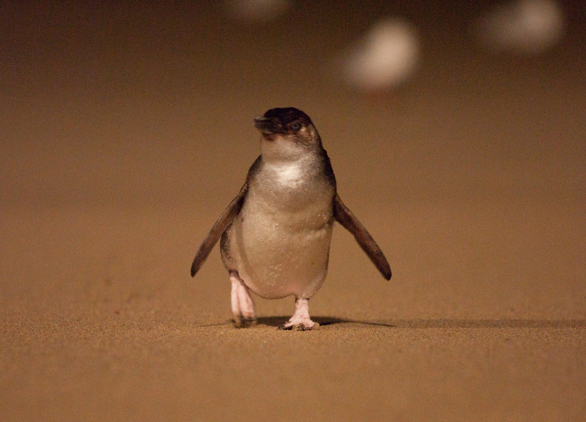 Penguin Parade_02 (full res).jpg