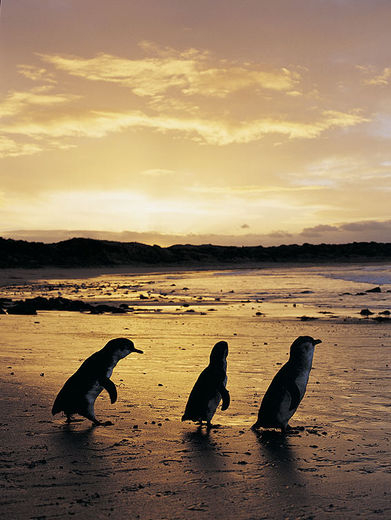 Penguins strolling along the beach