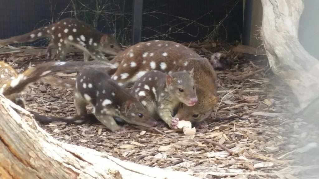 Cute spotted quoll
