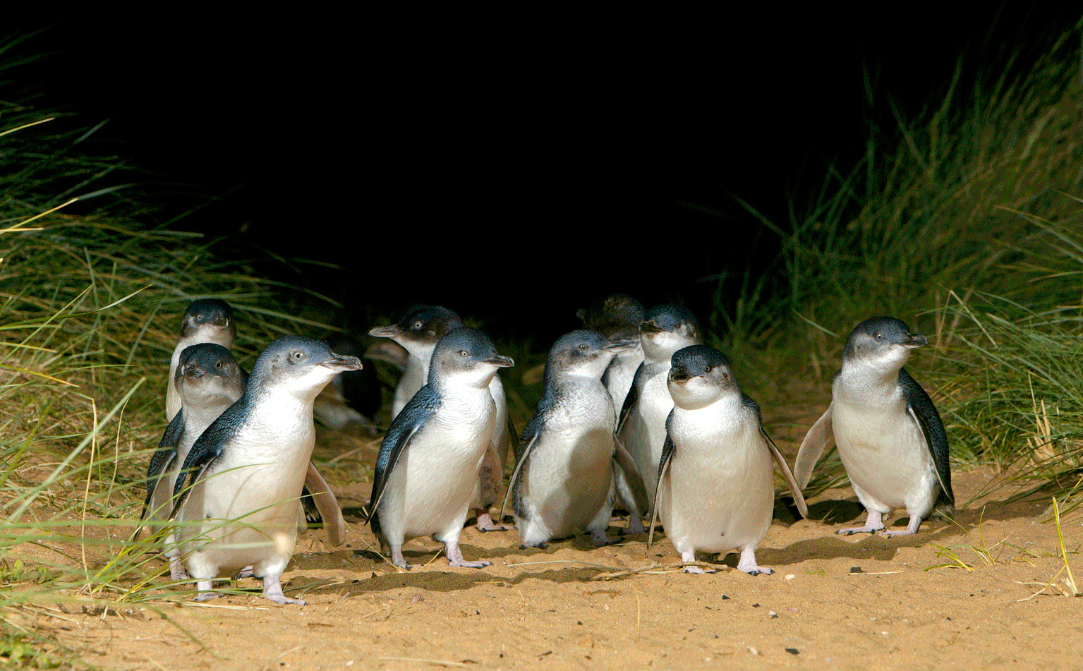 Penguins on Phillip island.jpg