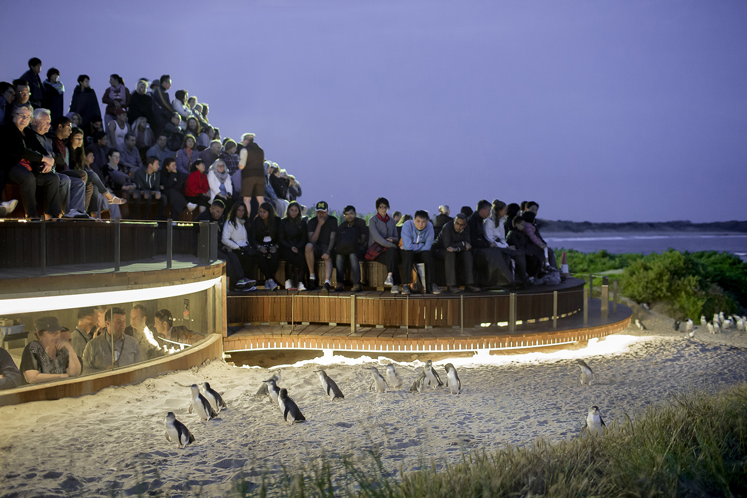 Penguins Plus at the Penguin Parade on Phillip island