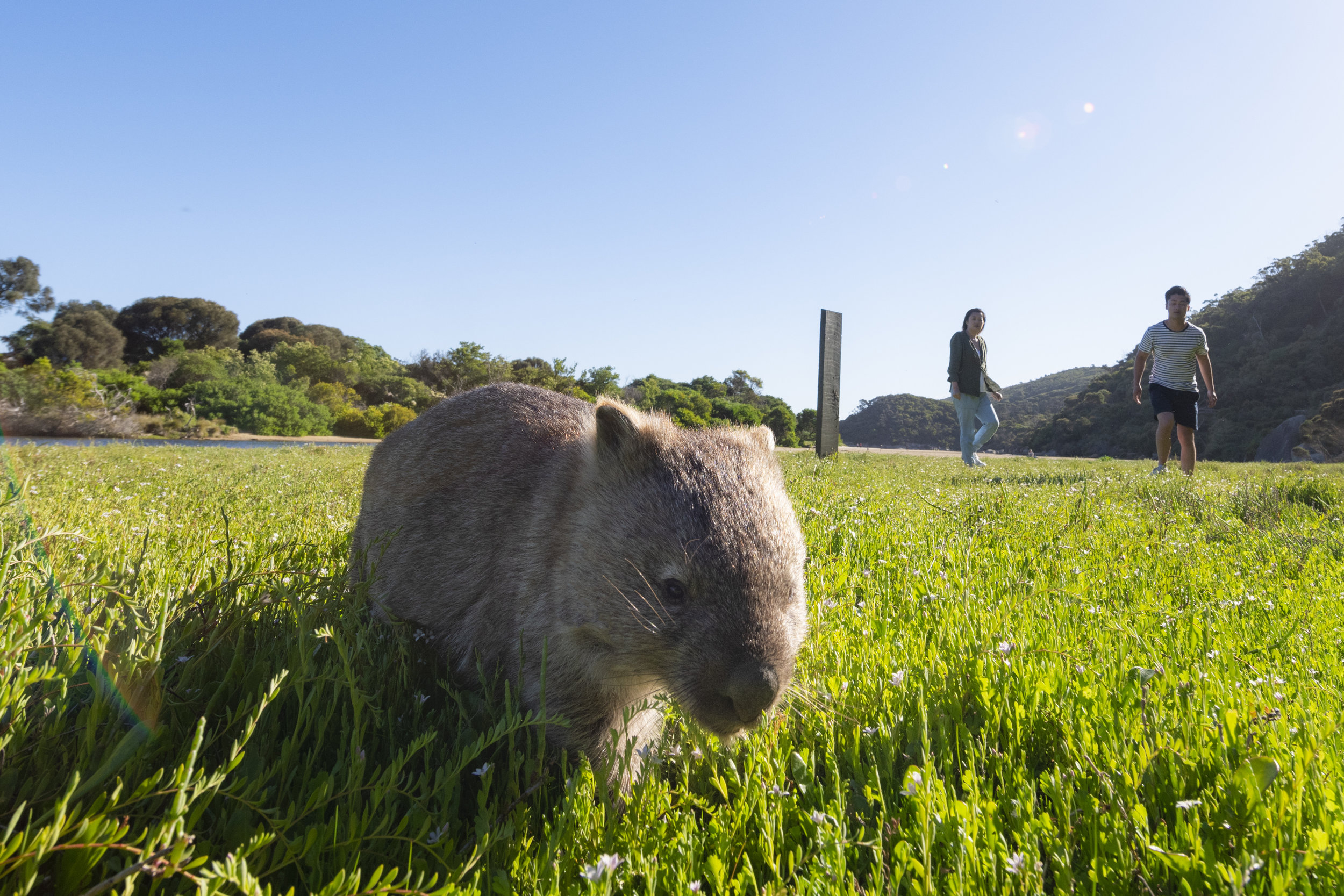 Wombats - Wilsons Promontory National Park