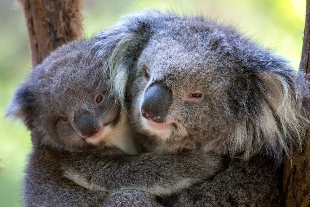 Healesville Sanctuary - Koalas Hazel and Emily.jpg