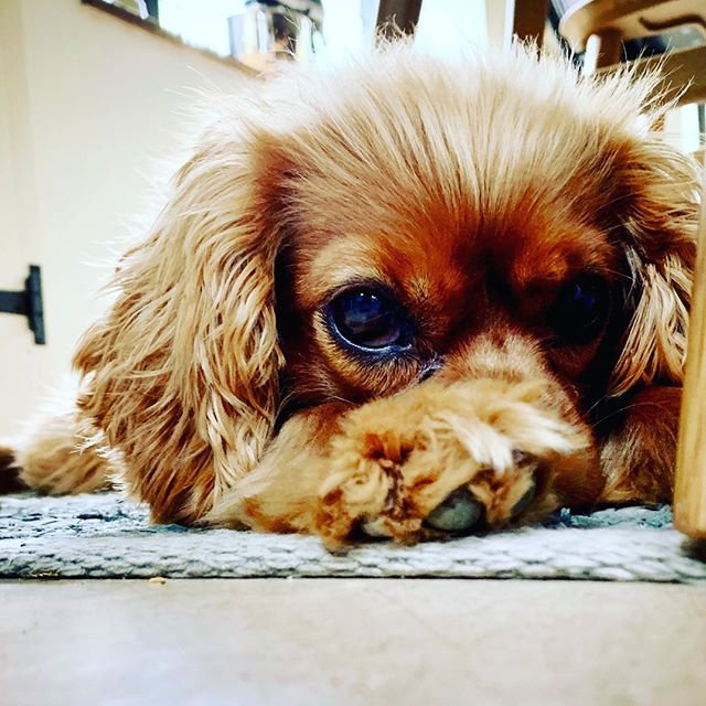 I feel you, McQueen... ⠀⠀ .⠀⠀ .⠀⠀ .⠀⠀ #friday⠀⠀ #mood⠀⠀ #dogsofinstagram⠀⠀ #cavalierkingcharles⠀⠀ #livehappy⠀⠀ #thenichehome