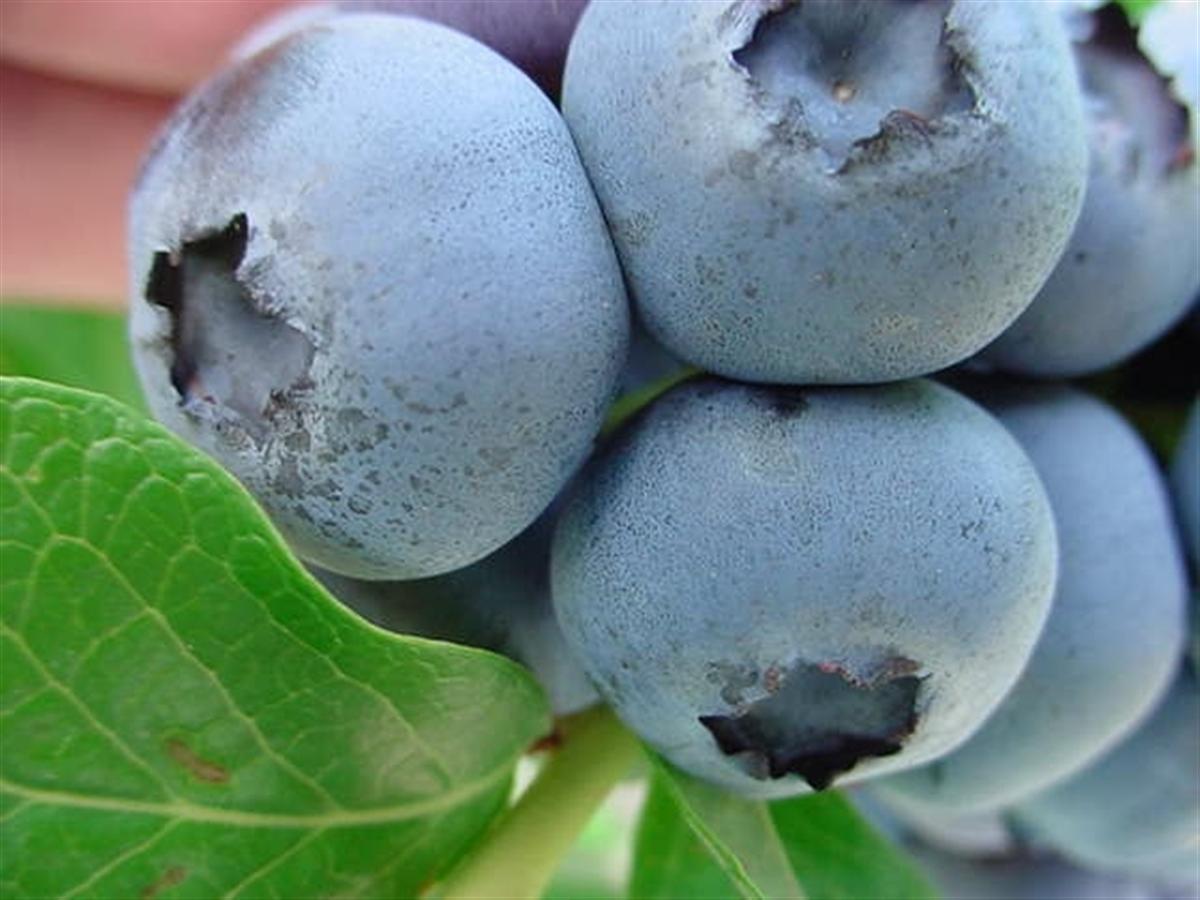 blueberry - North Carolina (Custom).JPG
