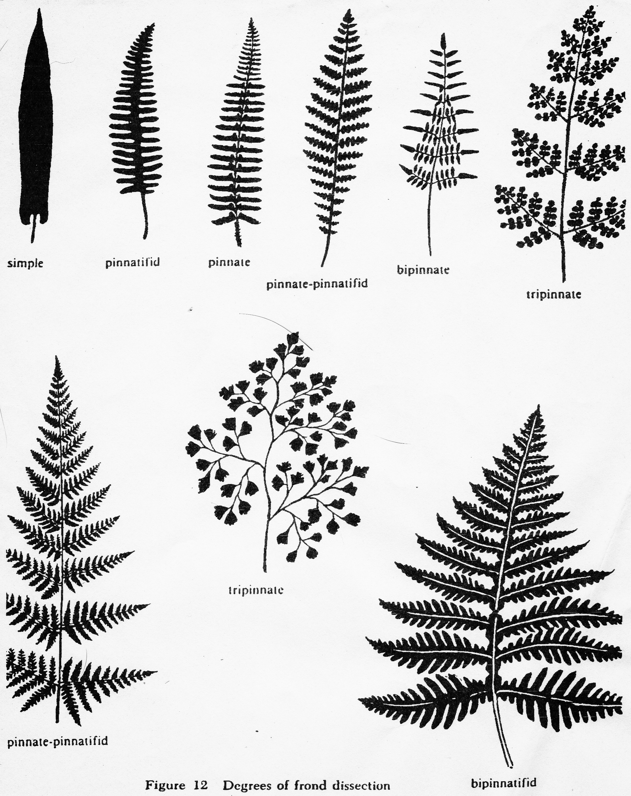 Degrees of frond dissection.jpg