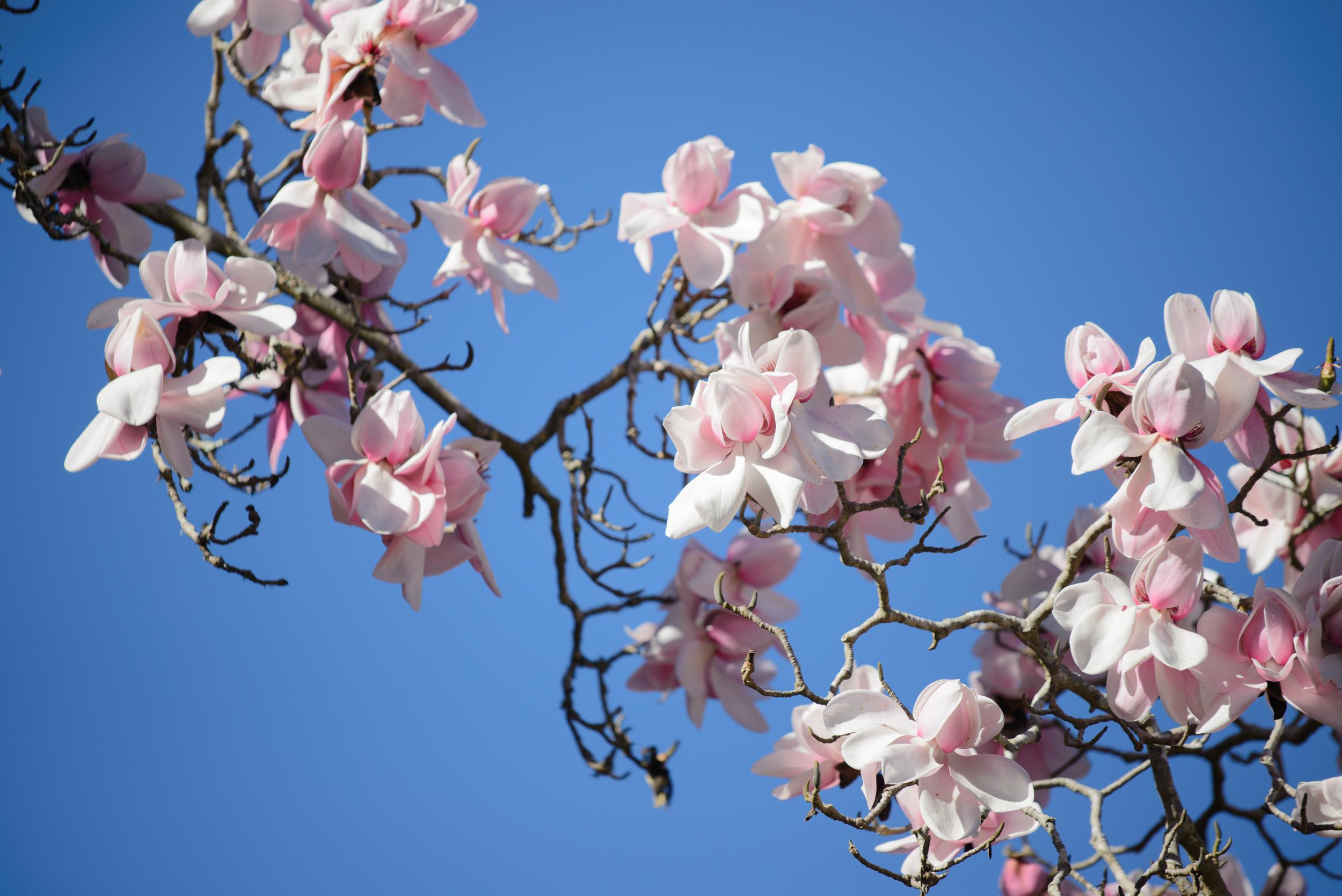 Magnolia campbellii  . Photo by Tom Karlo.