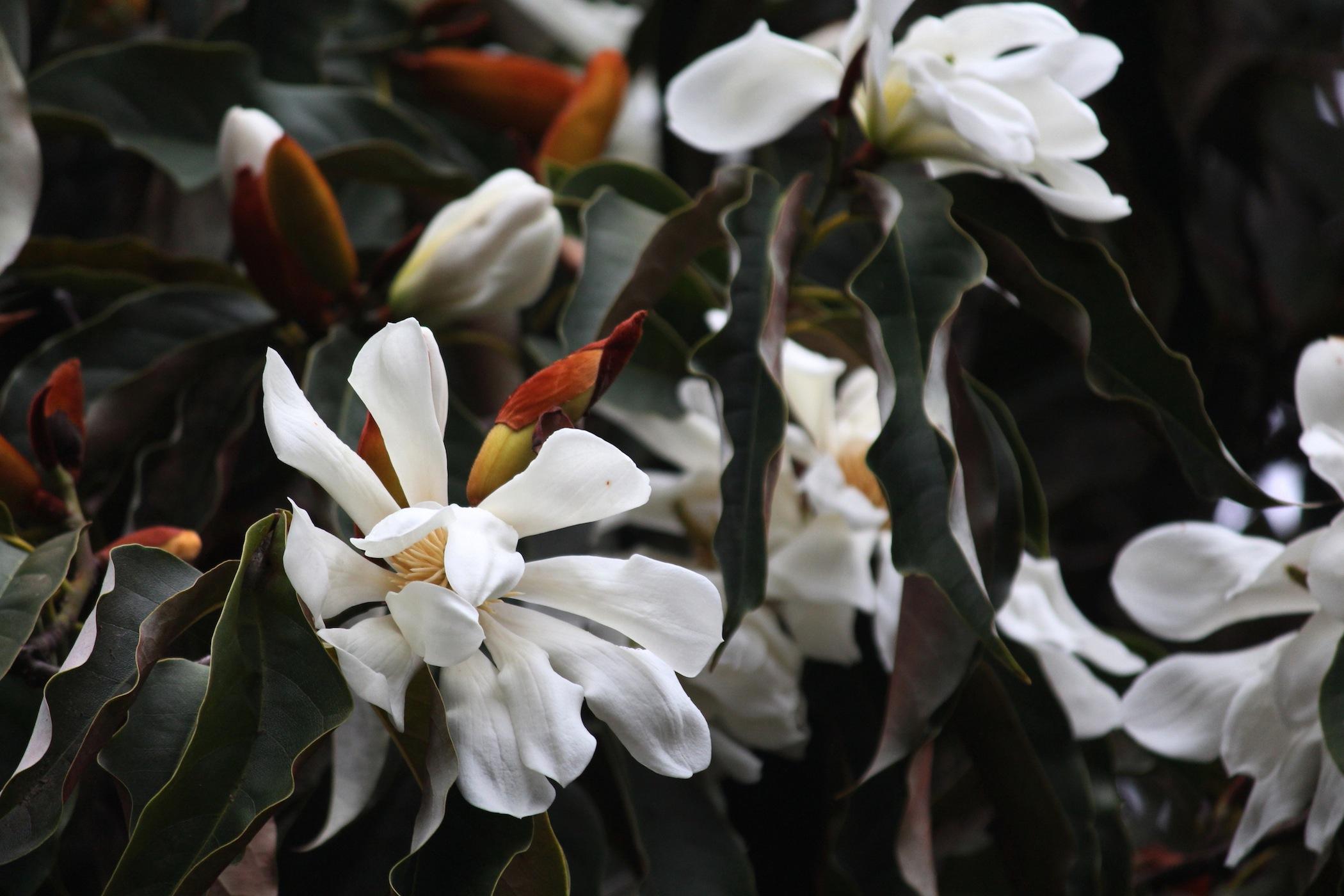 Magnolia doltsopa. Travis Lange
