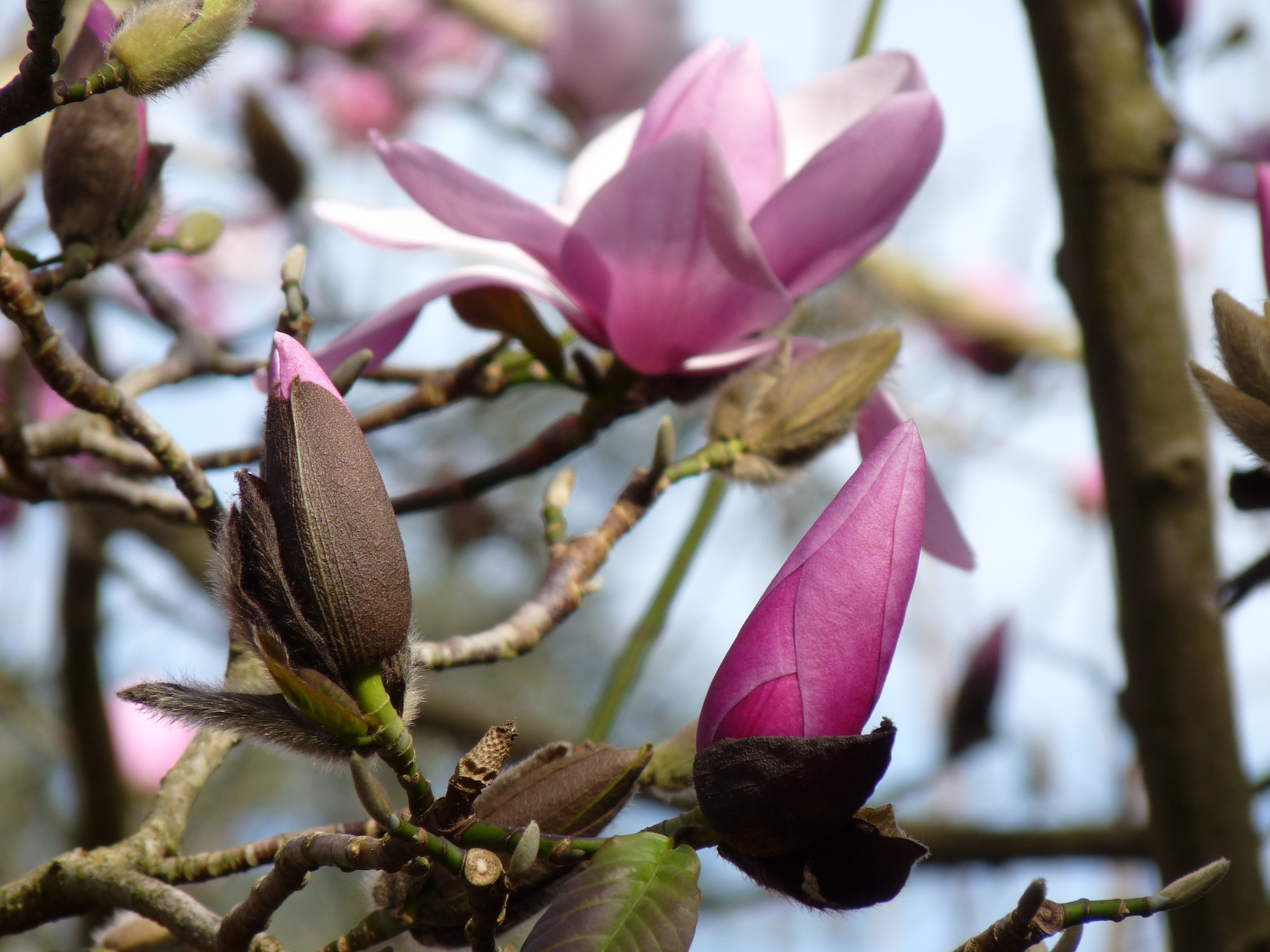 Magnolia sp. Nancy Hwang