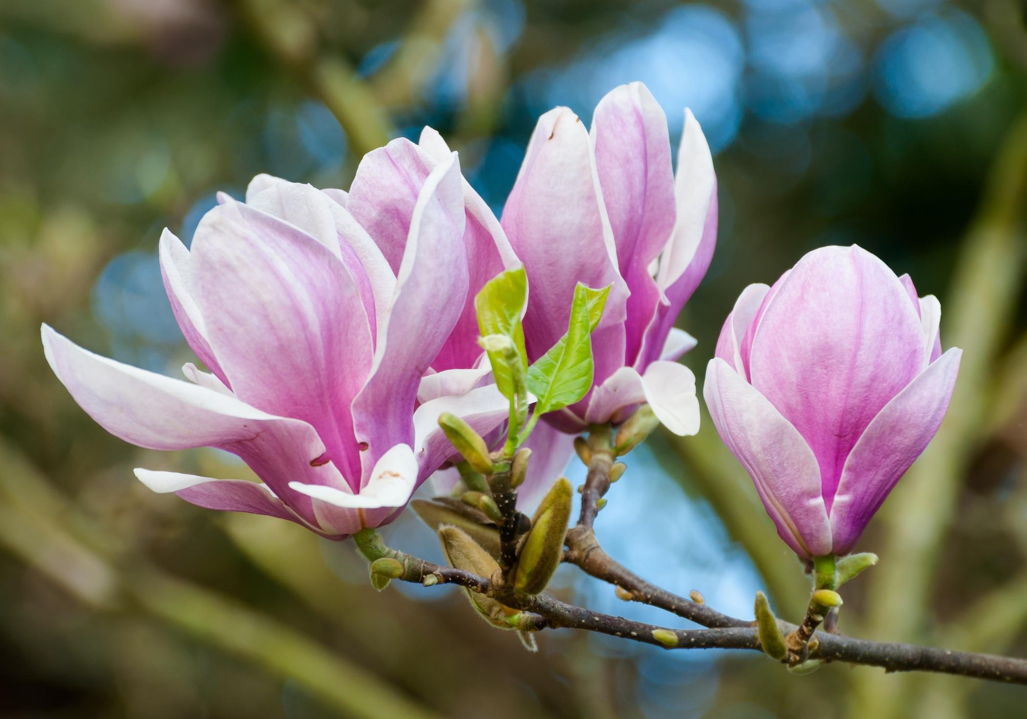 Magnolia x veitchii. Brian Fitzgerald