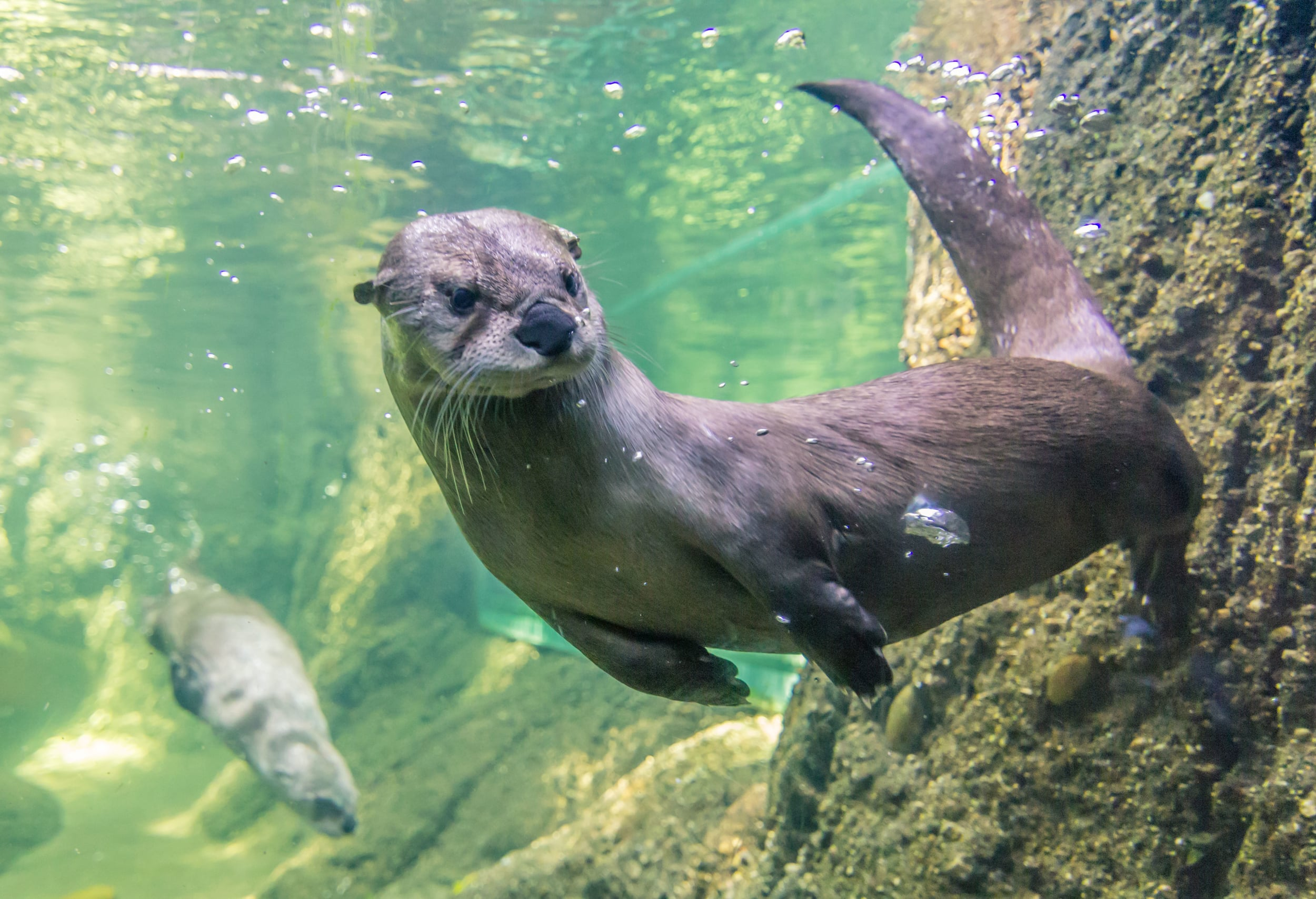 Otters Swimming - Sanders Fabares.jpg
