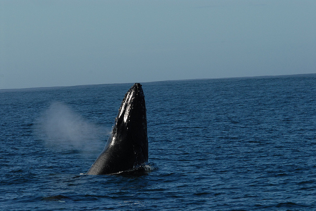 Humpback Whale, Spyhopping