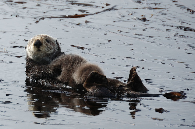 Mama Sea Otter with Baby