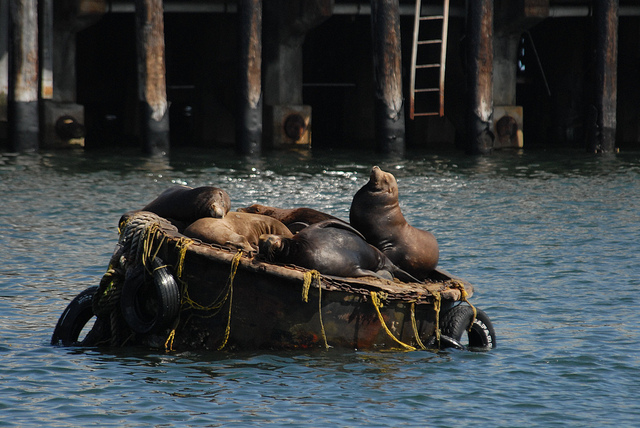 California Sea Lions On Mooring Buoy