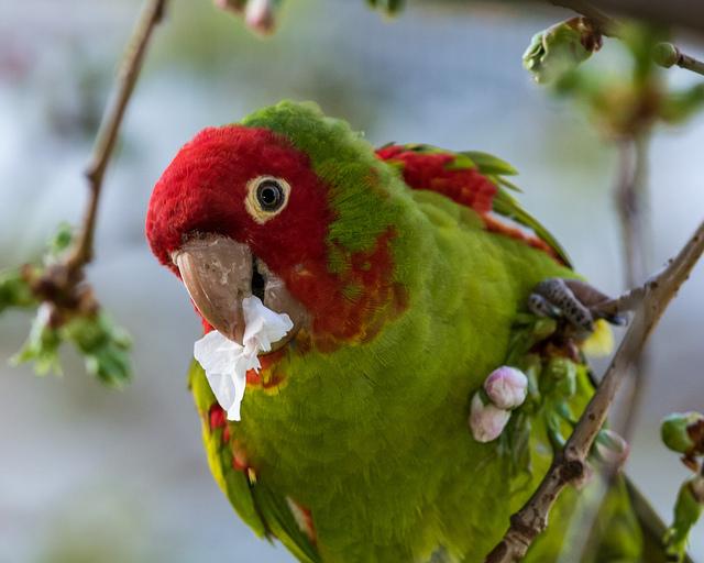 Ferral Parrots (Conure)