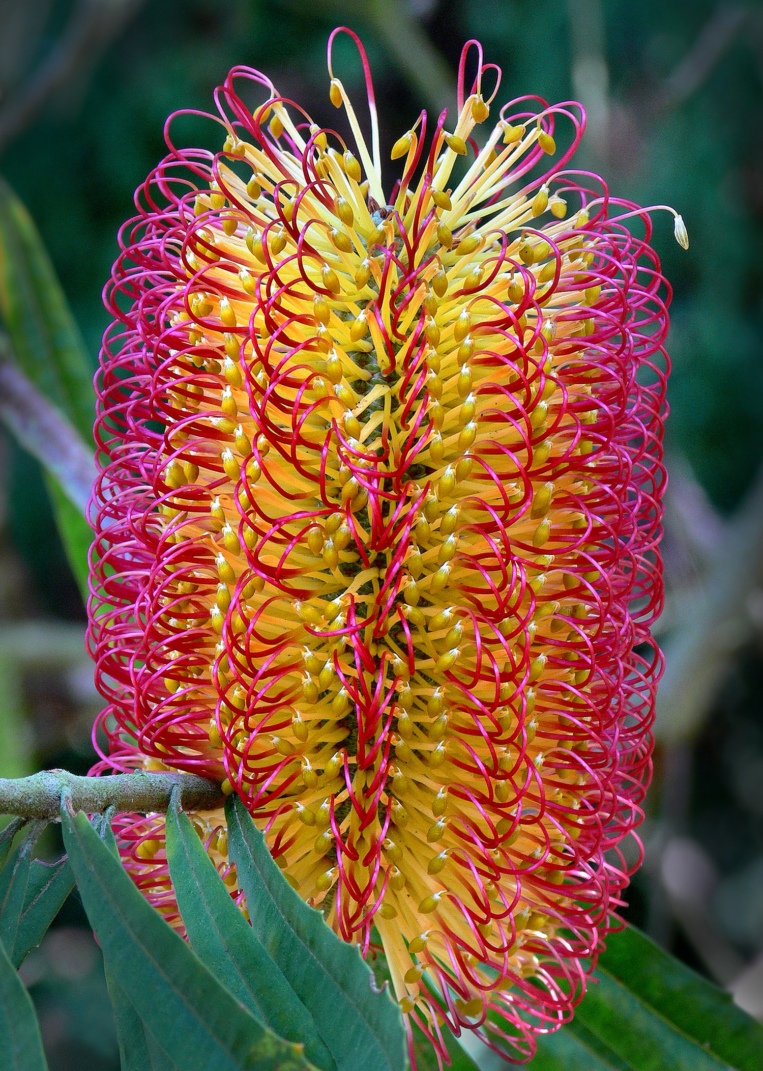 Banksia seminuda , James Gaither