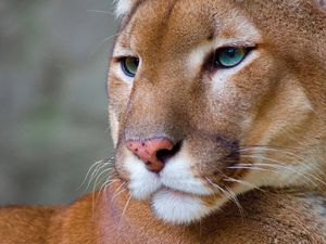 Puma and Bobcat Ecology Class and Expedition with the Felidae Conservation Fund