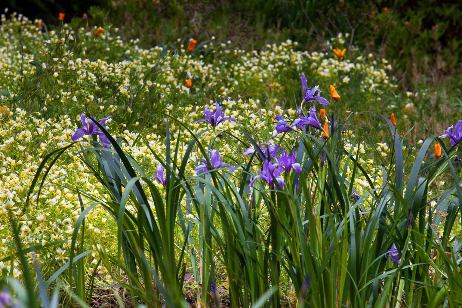 CA Native Garden   Irises, Poppies, and Meadowfoam   Saxon Holt