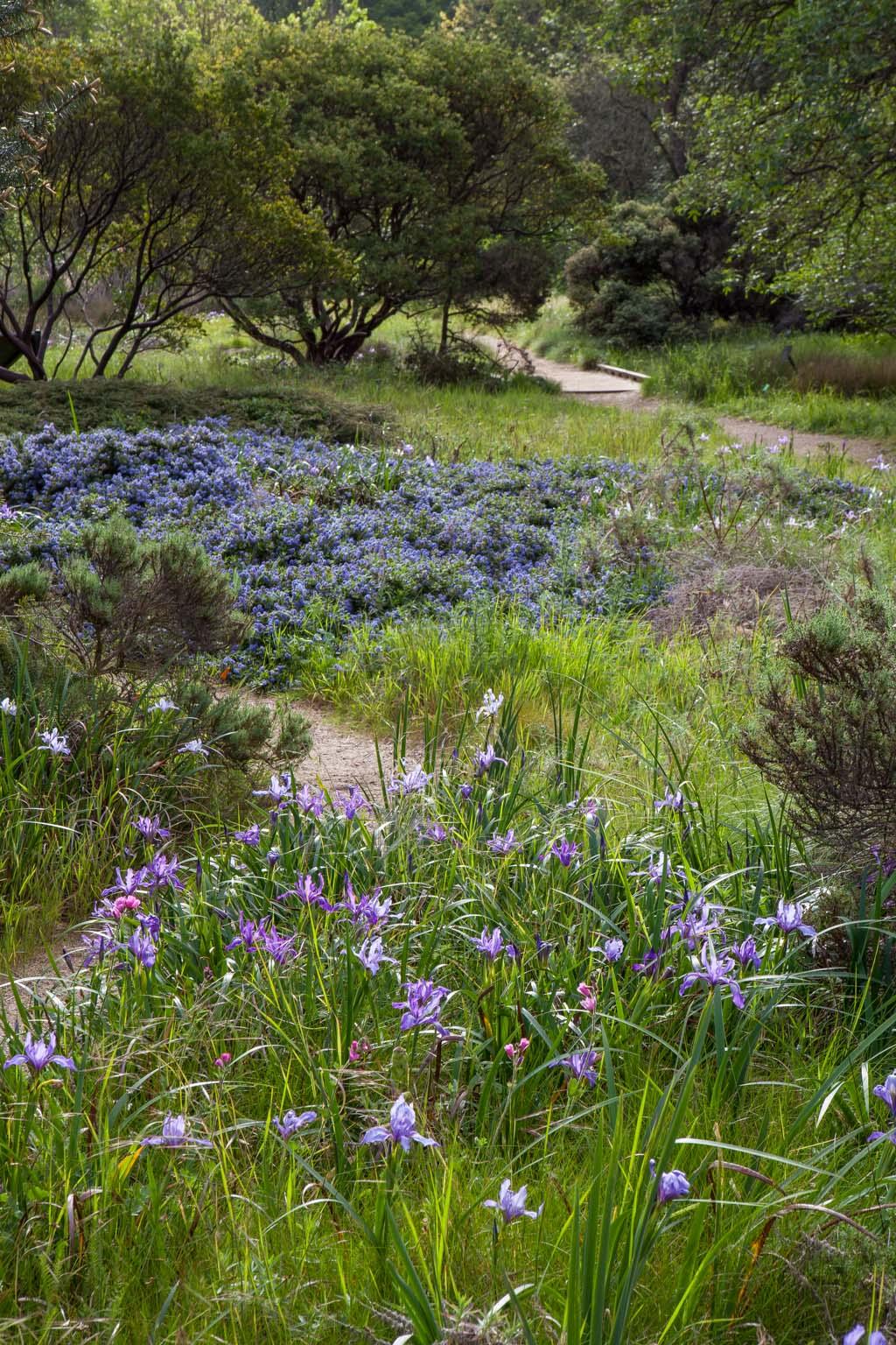 CA Native Garden   Meadow   Saxon Holt
