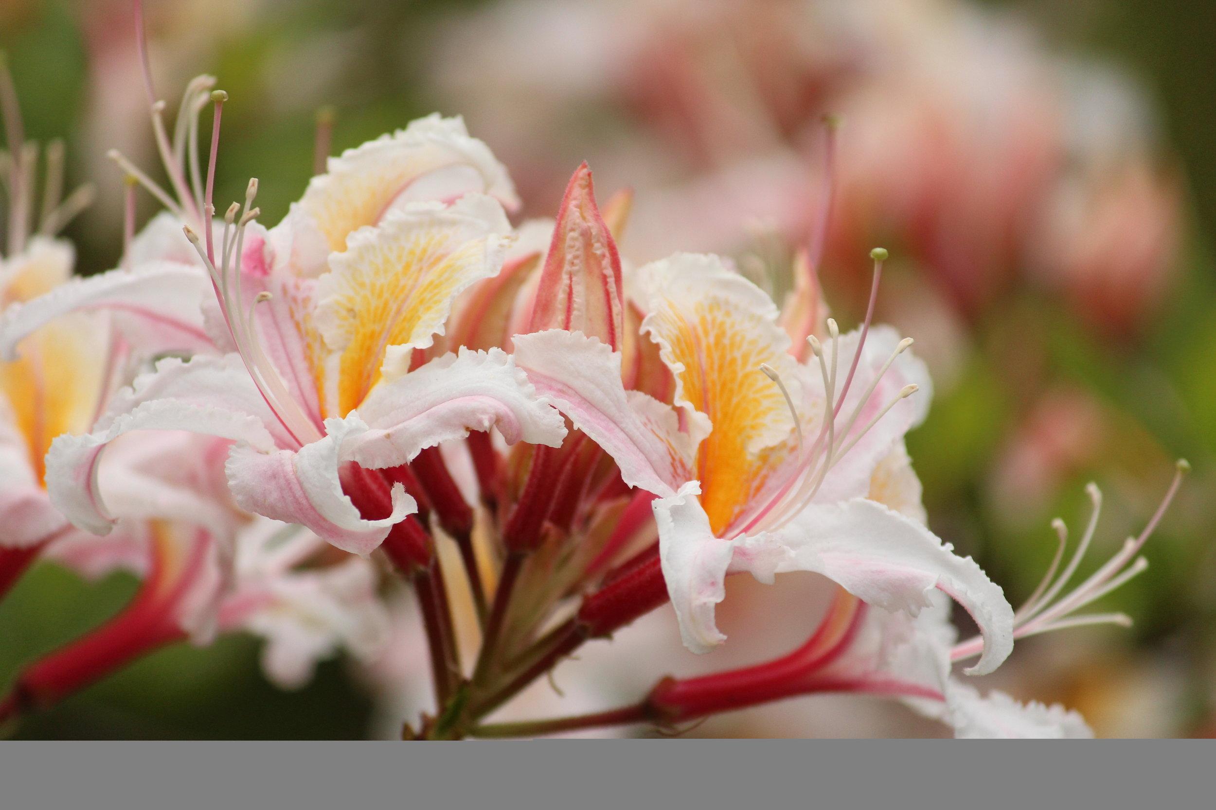 CA Native Garden   Western Azalea   Travis Lange