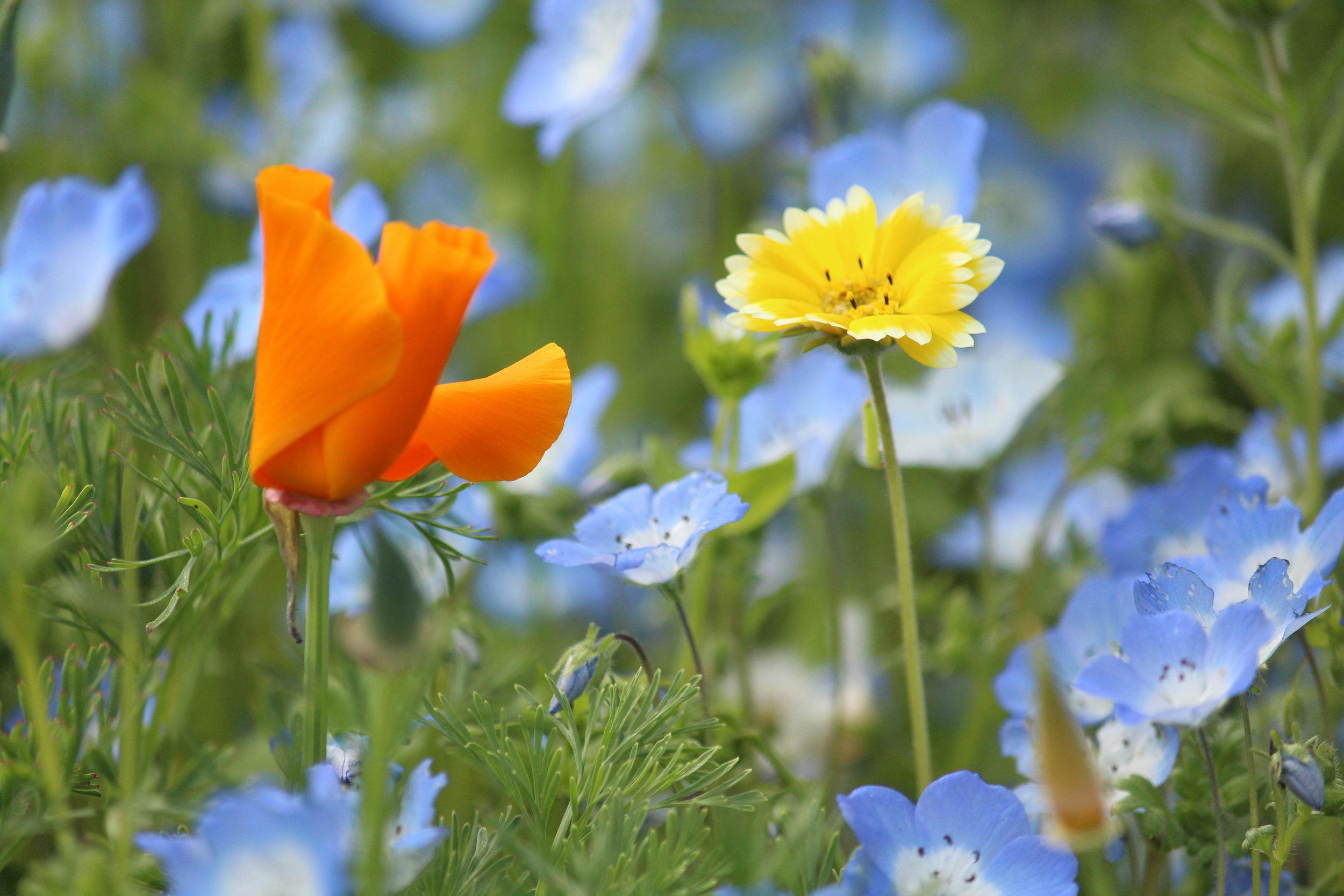 CA Native Garden   Wildflowers   Travis Lange