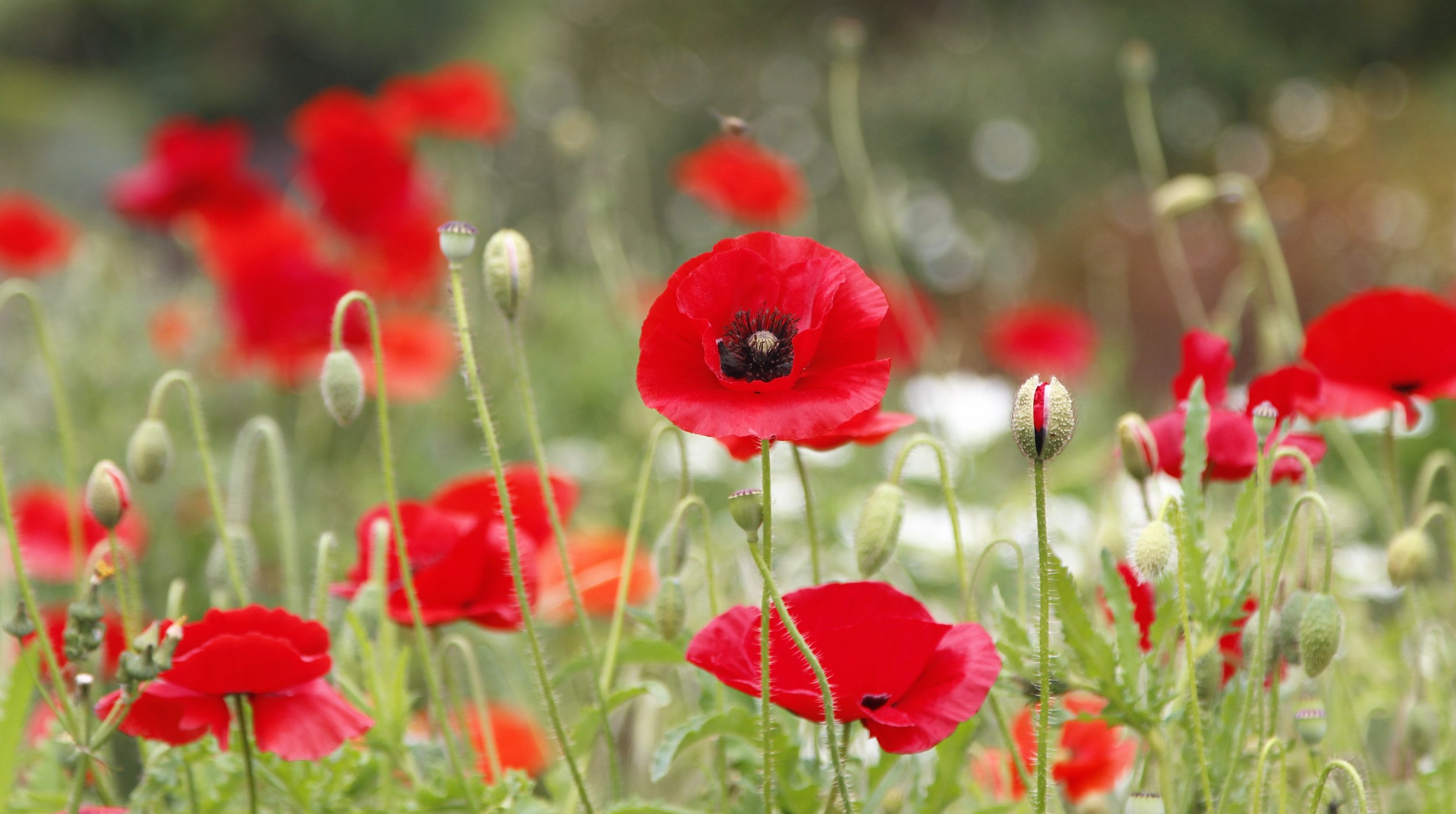 Mediterranean Garden   Flanders Poppy   Cathryn Taggart