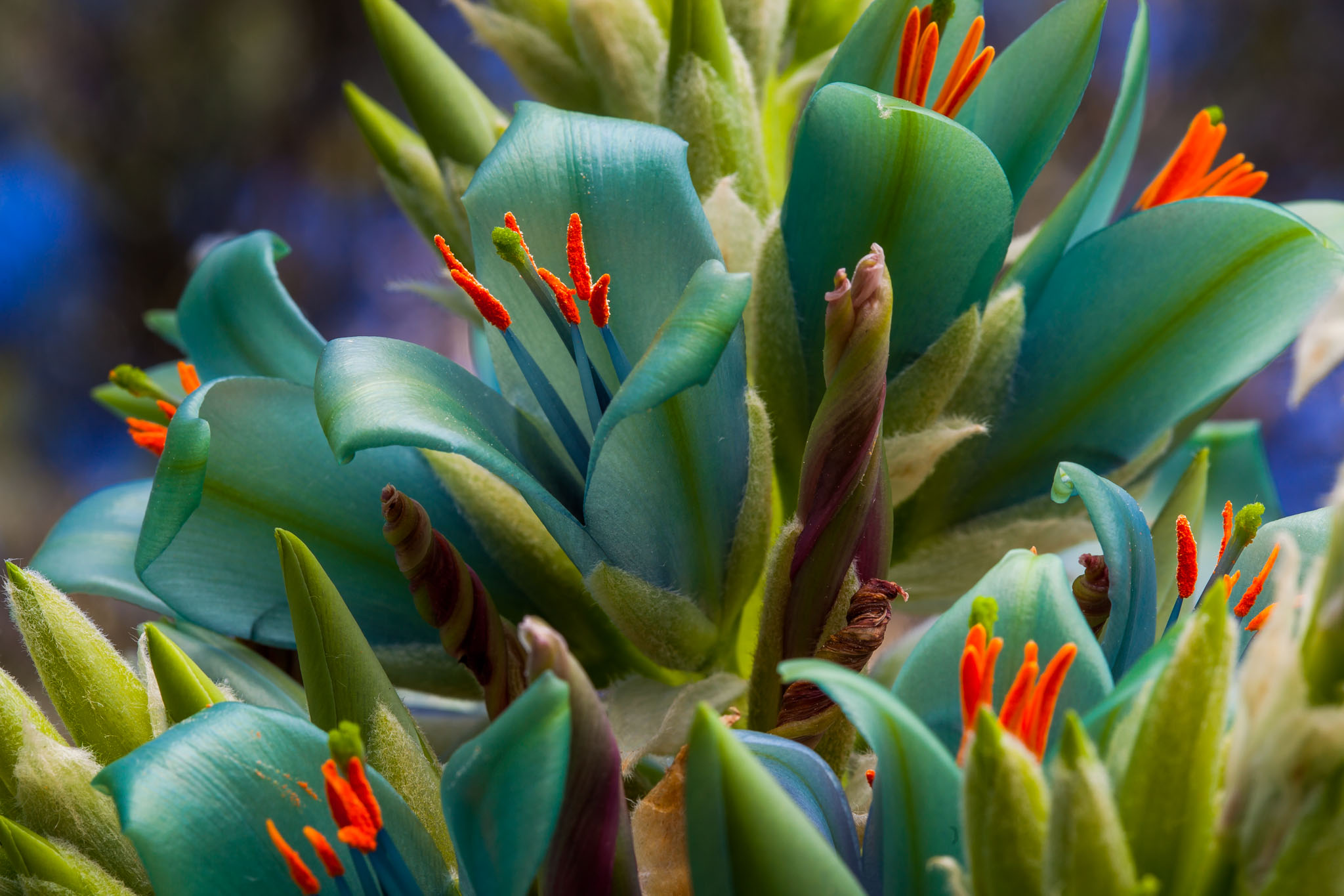 Succulent Garden   Puya alpestris   Saxon Holt