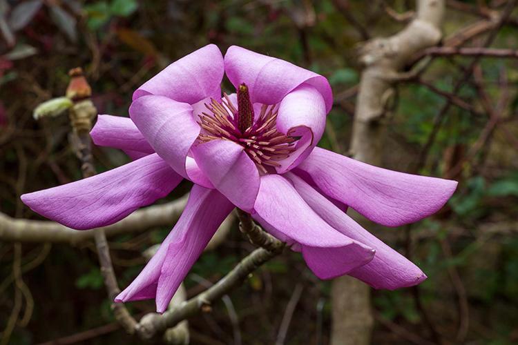 Magnolia campbellii  Saxon Holt