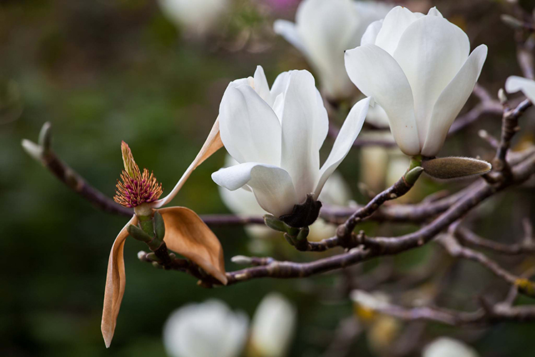 Magnolia denudata  Saxon Holt
