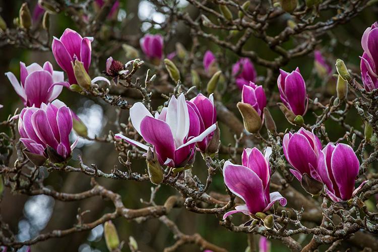 Magnolia soulangeana  Saxon Holt