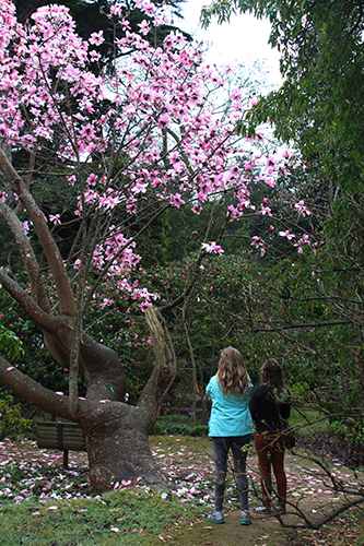 Visitors admire Magnolia campbellii  Travis Lange