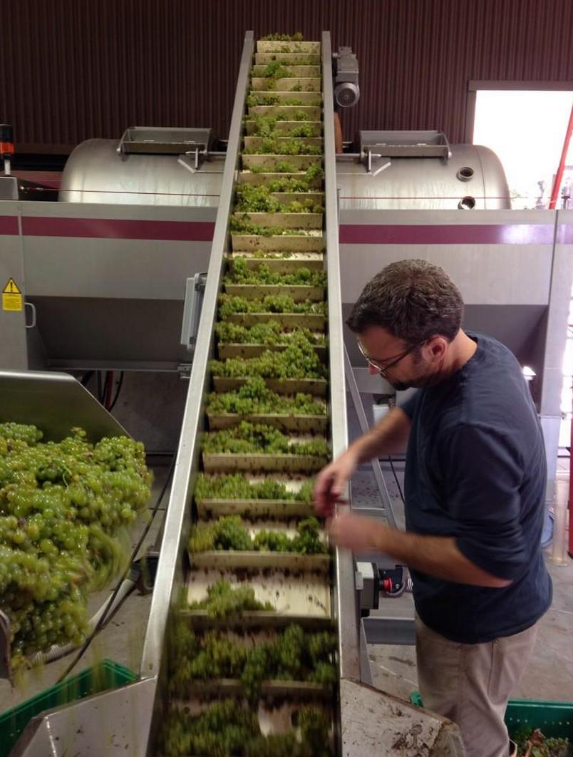 Sauvignon Blanc going through the sorting line
