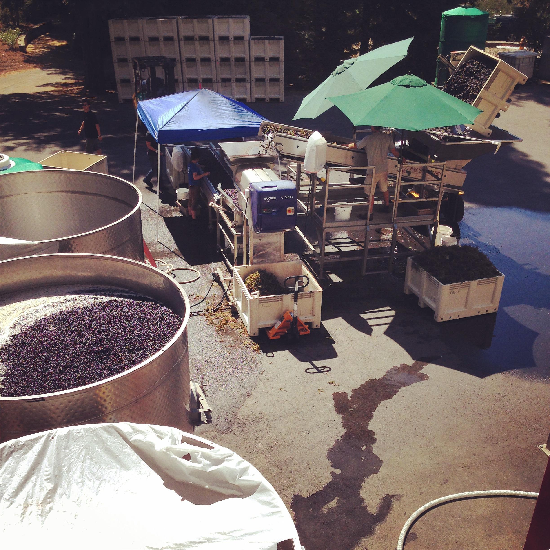 Harvest in full swing at Failla Winery